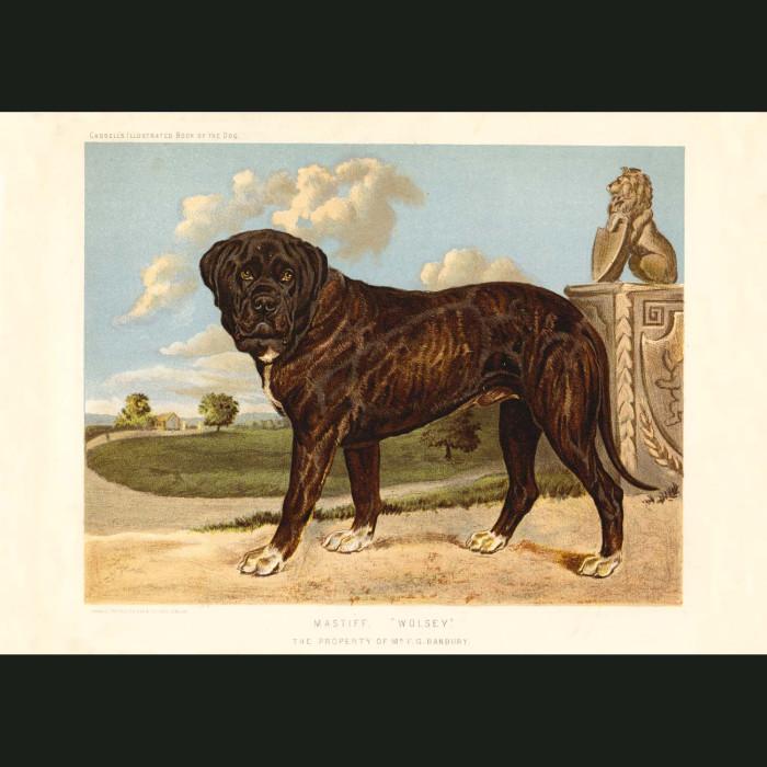 Fine art print for sale. Mastiff