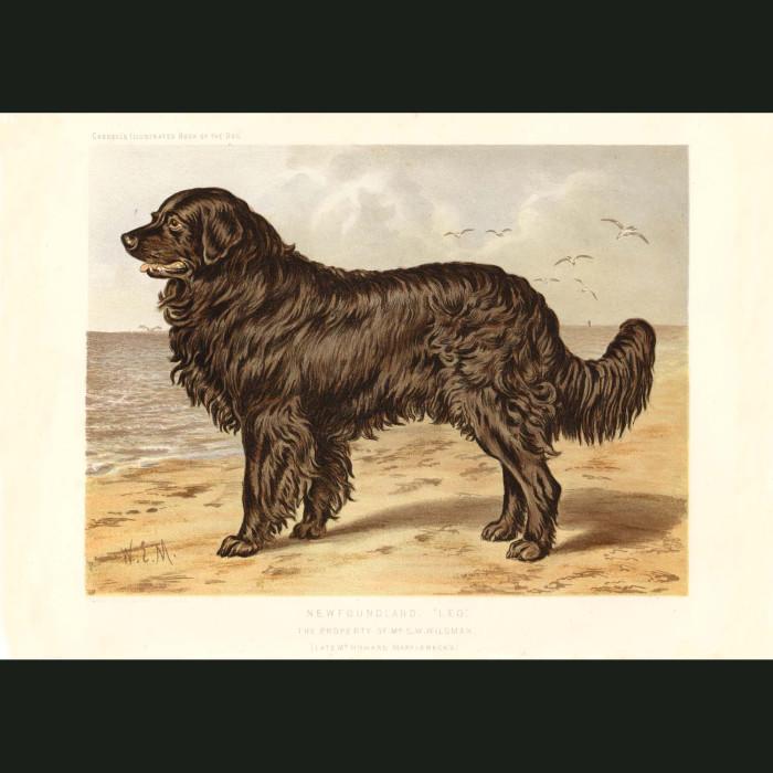 Fine art print for sale. Newfoundland Dog