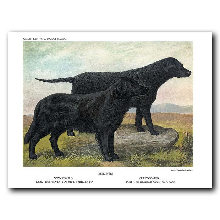 Fine art print for sale. Retrievers: Wavy and Curly-Coated