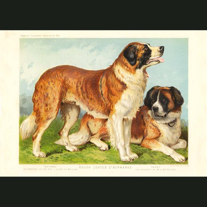 Fine art print for sale. Rough Coated St. Bernard Dogs