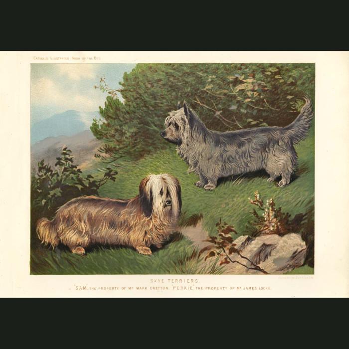 Fine art print for sale. Skye Terriers