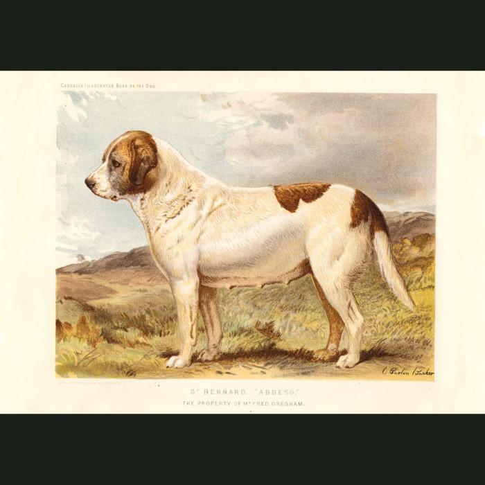 Fine art print for sale. St. Bernard Dog