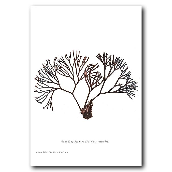 Fine art print for sale. Goat Tang Seaweed: Polyides Rotundas