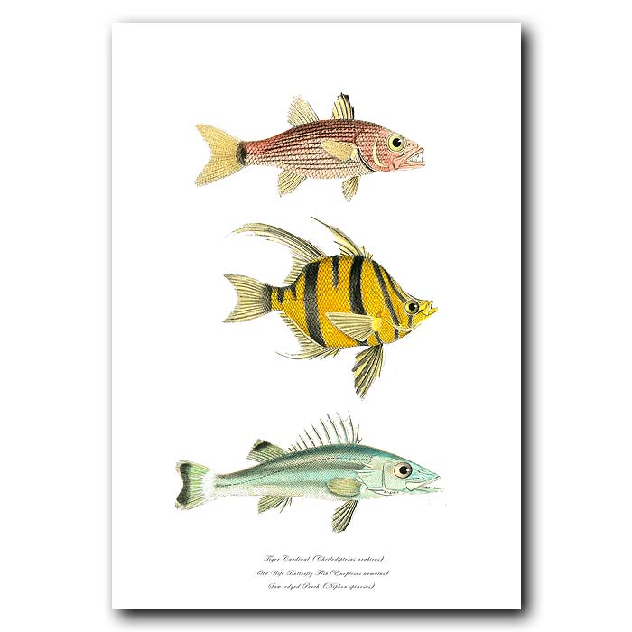 Fine art print for sale. Tiger Cardinal, Old Wife Butterfly Fish & Saw-edged Perch