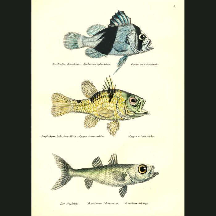 Fine art print for sale. Barred Soapfish, Three Spot Cardinal, Large-eyed Pomatome Fish