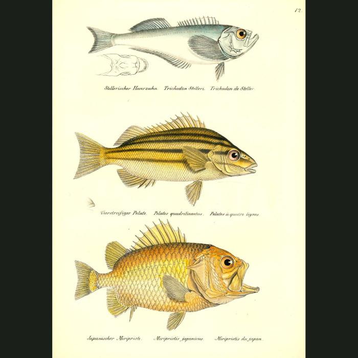 Fine art print for sale. Pacific Sandfish, Four-lined Terapon & Brocade Perch