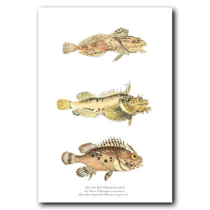 Fine art print for sale. Red Irish Lord, Sea Raven & Mozambique Scorpionfish