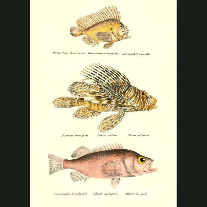 Fine art print for sale. Leaf Scorpionfish, Red Lionfish & Rose Fish
