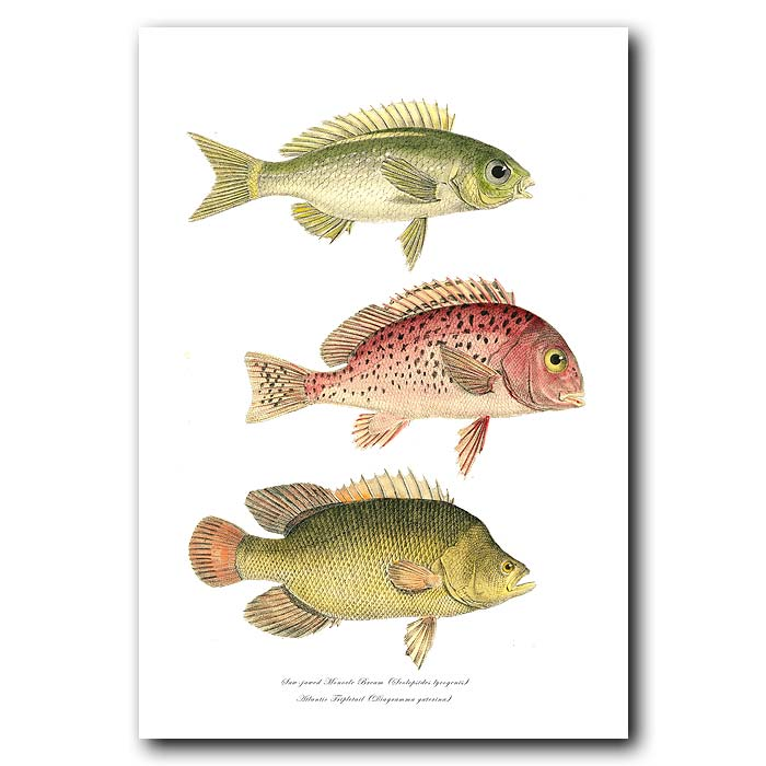 Fine art print for sale. Saw-jawed Monocle Bream & Atlantic Tripletail Fish
