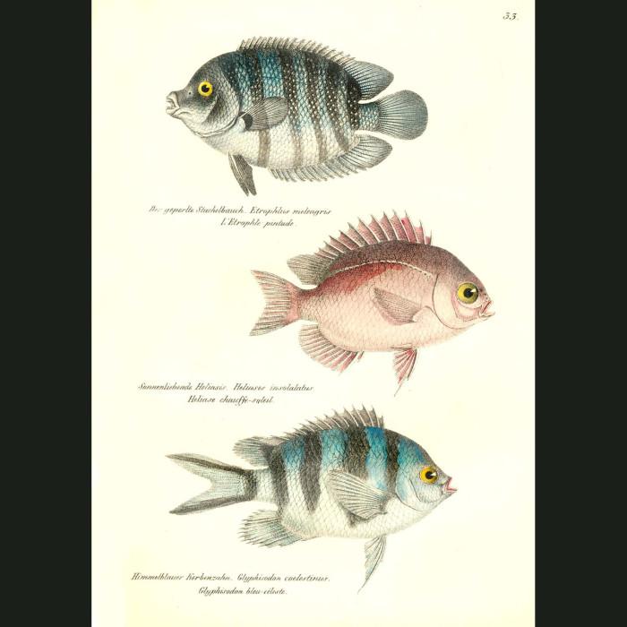 Fine art print for sale. Green Chromide Cichlid & Scissortail Sargeant Fish