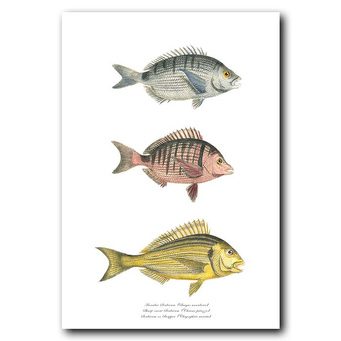 Fine art print for sale. Annular Seabream, Sharpsnout Sea Bream & Snapper