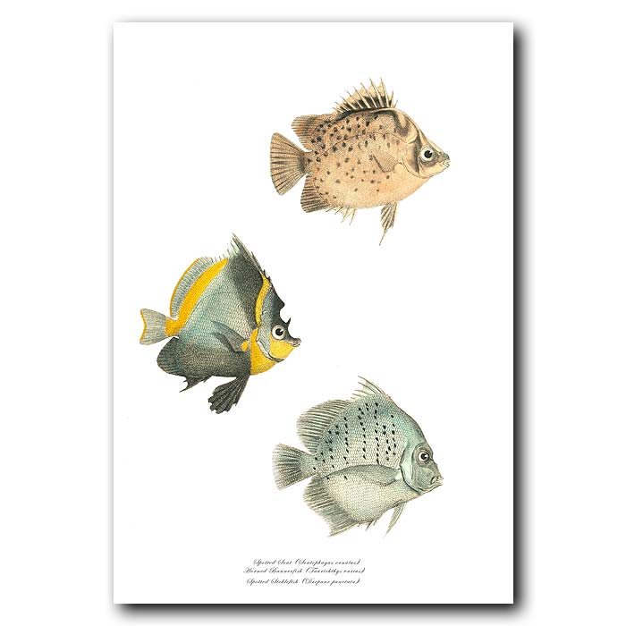 Fine art print for sale. Spotted Scat, Horned Bannerfish & Spotted Sicklefish