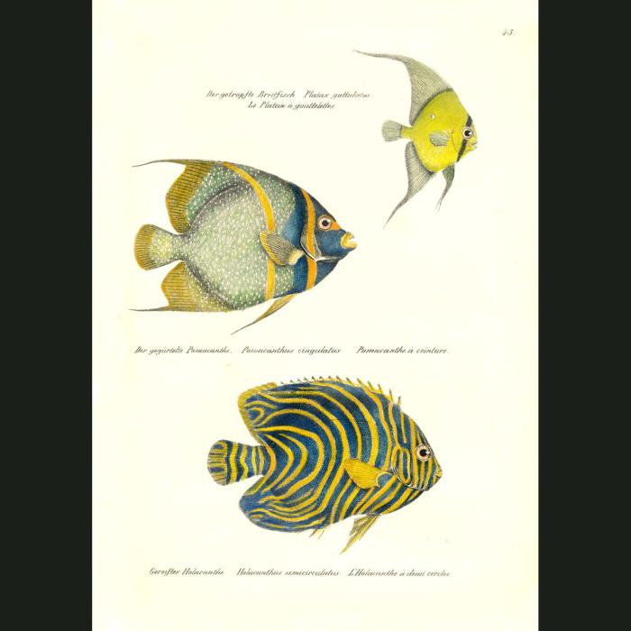 Fine art print for sale. Orbicular Batfish, Apapulco Damselfish & Koran Angelfish