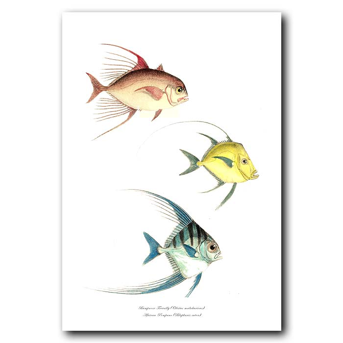 Fine art print for sale. Bumpnose Trevally & African Pompano Fish
