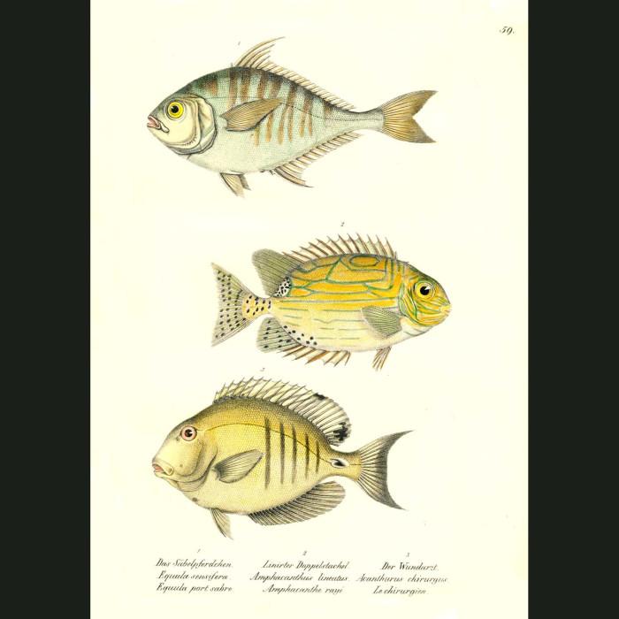 Fine art print for sale. Spinefoot, Goldlined Rabbitfish & Doctorfish Tang