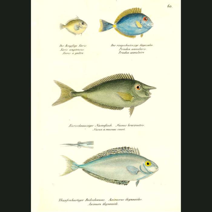 Fine art print for sale. Seabream, White-margin Unicornfish & One-knife Unicornfish
