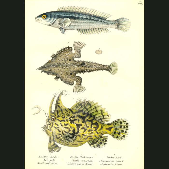 Fine art print for sale. Mediterranean Wrasse, Flying Gurnard or Batfish & Sargassum Anglerfish