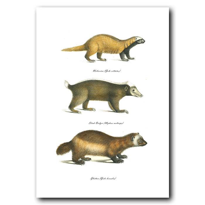 Fine art print for sale. Wolverine, Stink Badger And Glutton. Gulo Vittatus, Mydaus Meliceps And Gulo Borealis