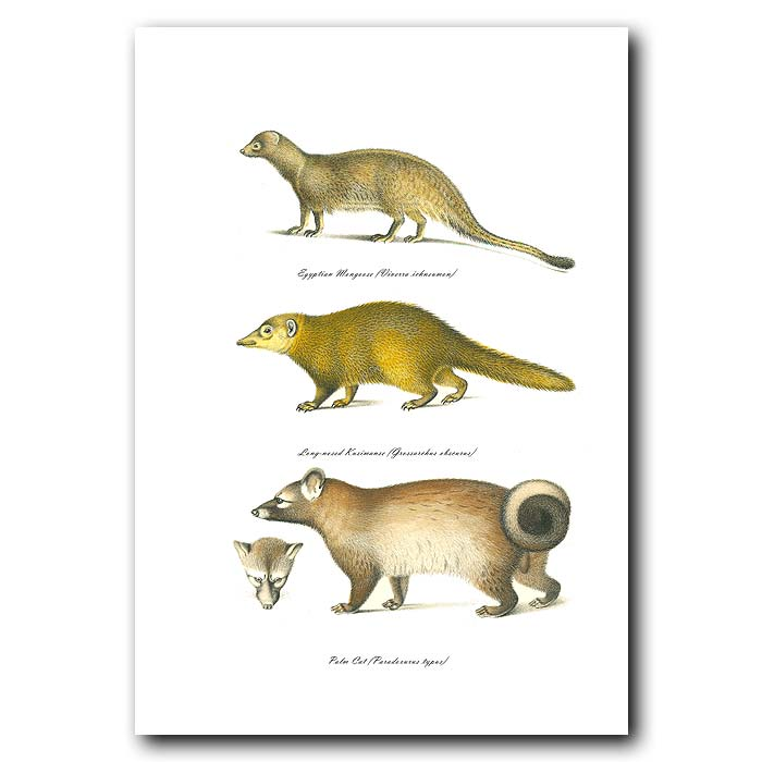 Fine art print for sale. Egyptian Mongoose, Long-Nosed Kusimanse & Palm Cat