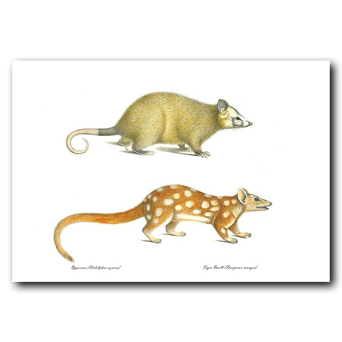 Fine art print for sale. Opossum And Tiger Quoll. Didelphis Azarce And Dasyurus Maugei