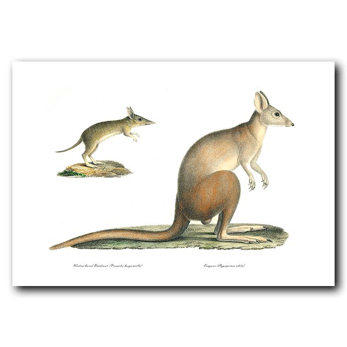 Fine art print for sale. Kangaroo And Western-Barred Bandicoot. Hypsiprimus White, Perameles Bougainville