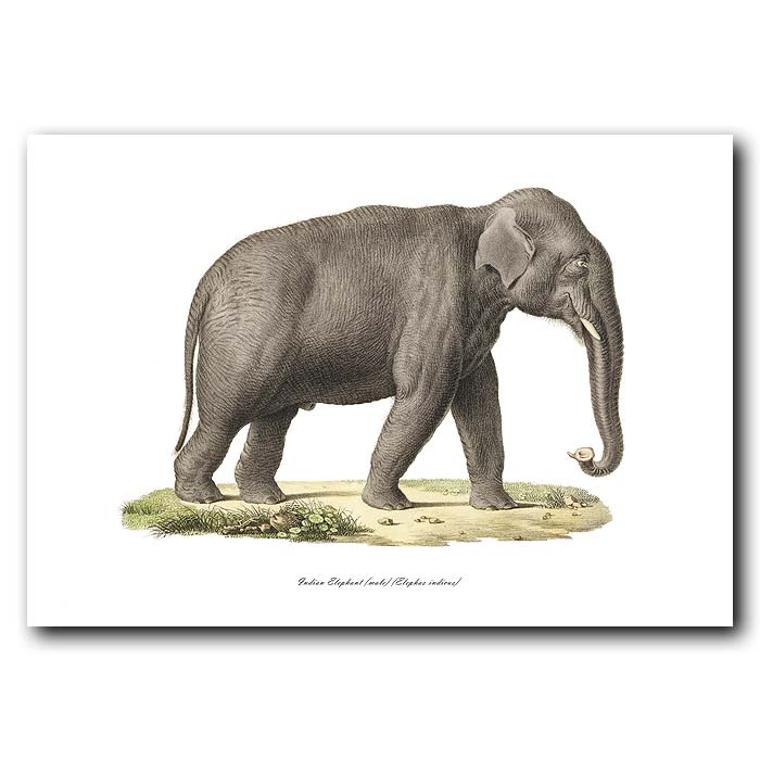 Fine art print for sale. Indian Elephant (male). Elephas Indicus