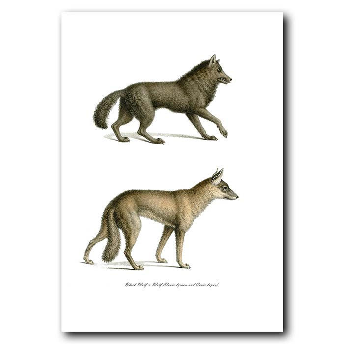 Fine art print for sale. Black Wolf & Wolf. Canis Lycaon And Canis Lupus