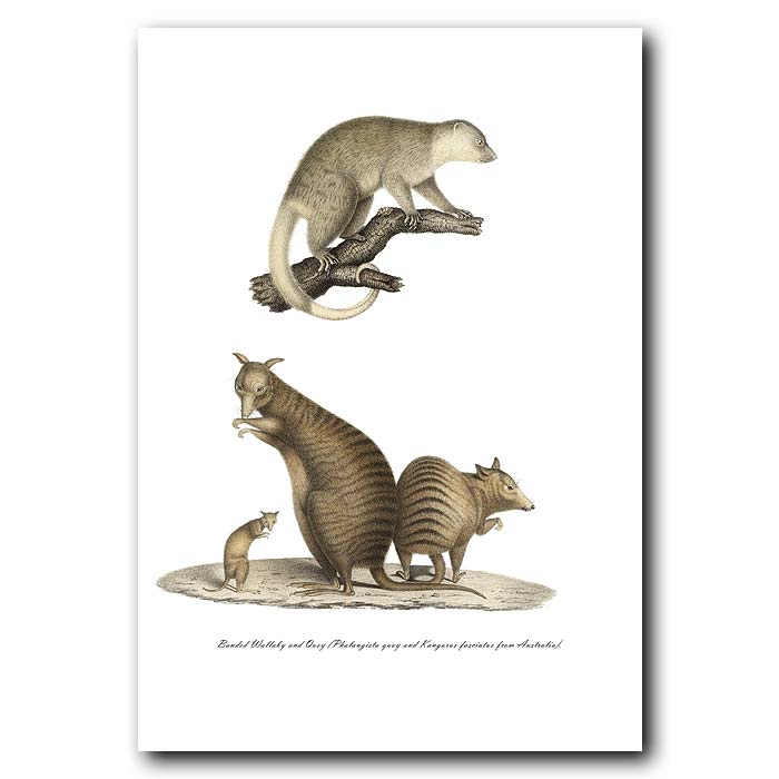 Fine art print for sale. Banded Wallaby & Quoy. Phalangista Quoy And Kangurus Fasciatus