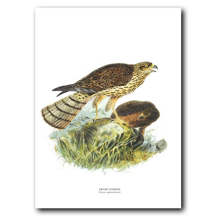 Fine art print for sale. Gould's Harrier (Circus Gouldi)