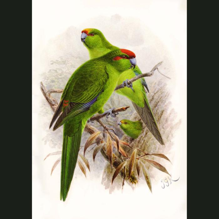 Fine art print for sale. Kakariki Parrots