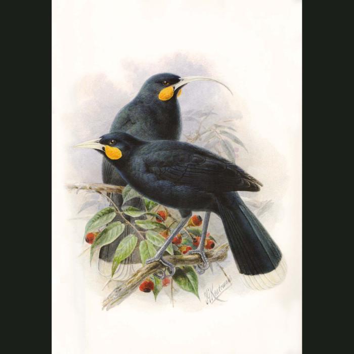 Fine art print for sale. Huia (extinct). Heteralocha Acutirostris