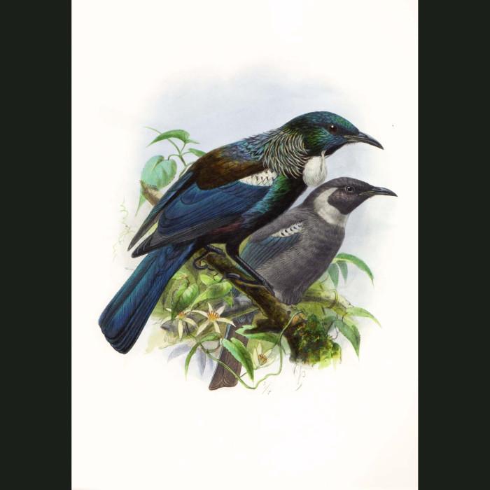 Fine art print for sale. Tui Or Parson Bird (Prosthemadera Novaeseelandiae)