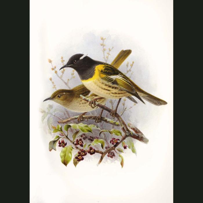 Fine art print for sale. Stitchbird Or Hihi (Notiomystis Cincta)