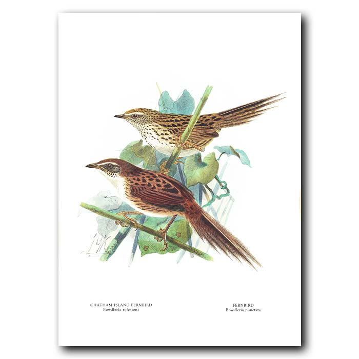 Fine art print for sale. Fernbird And Chatham Island Fernbird (extinct)