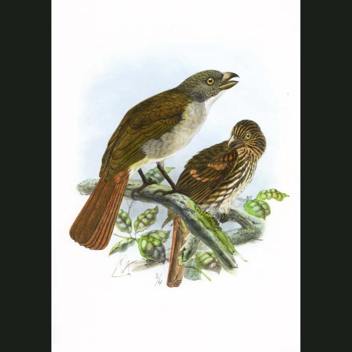 Fine art print for sale. Piopio (extinct)