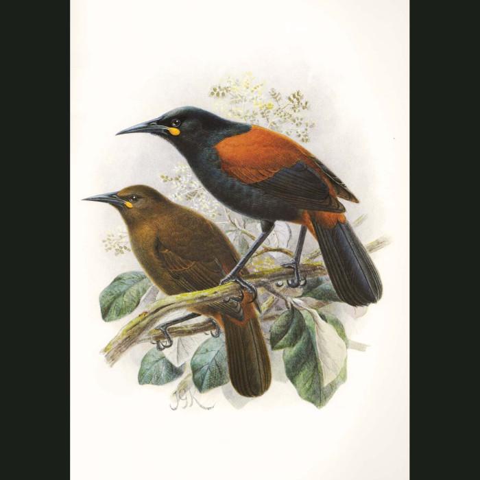 Fine art print for sale. Saddleback Birds (Philesturnus Carunculatus)
