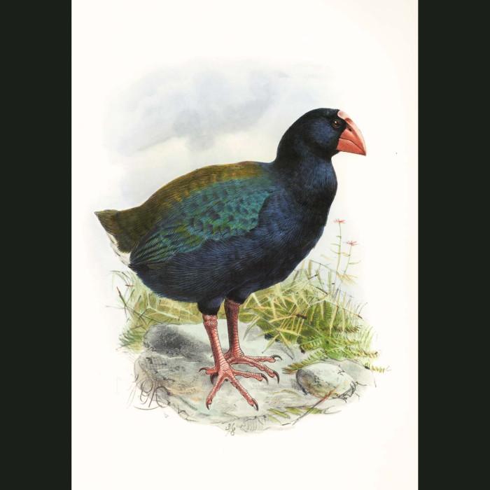 Fine art print for sale. South Island Takahe (Porphyrio Hochstetteri)