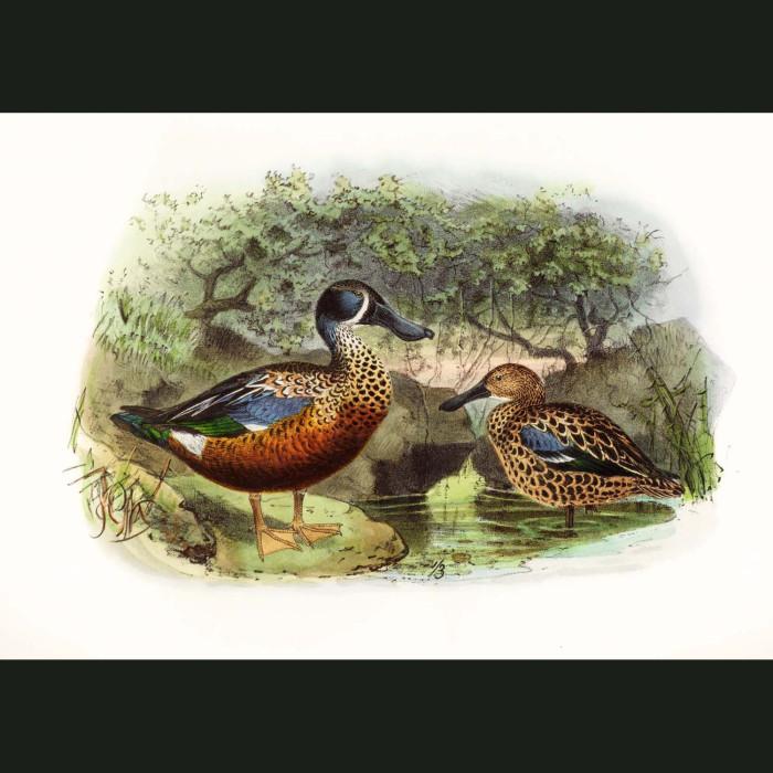Fine art print for sale. New Zealand Shoveller Duck