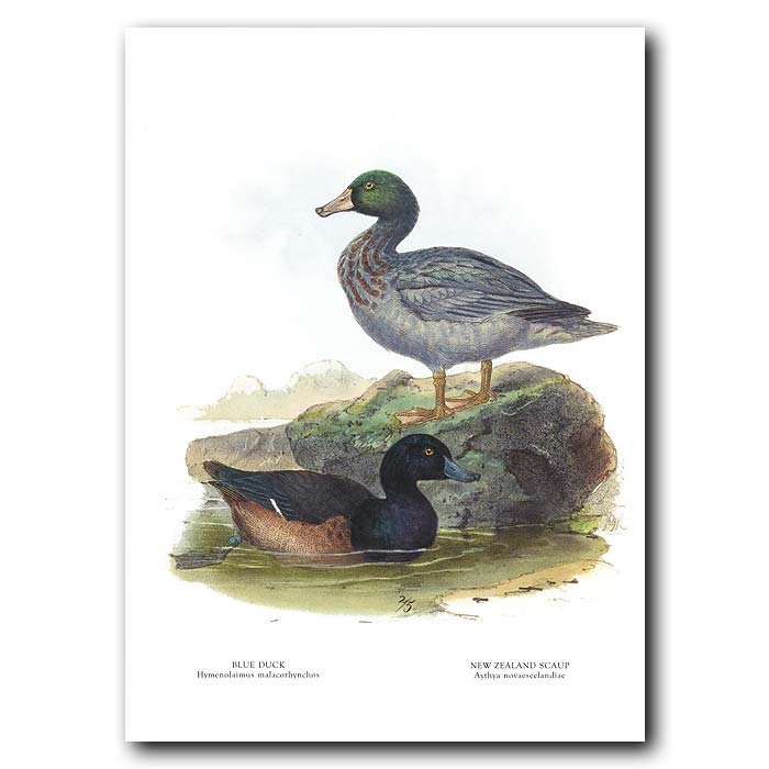 Fine art print for sale. Blue Duck And New Zealand Scaup