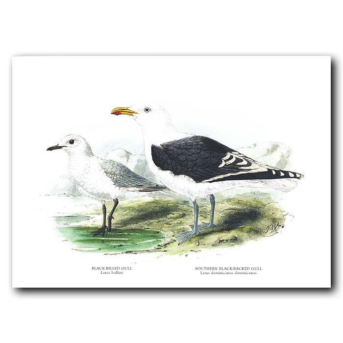 Fine art print for sale. Black-Billed Gull And Southern Black-Backed Gull