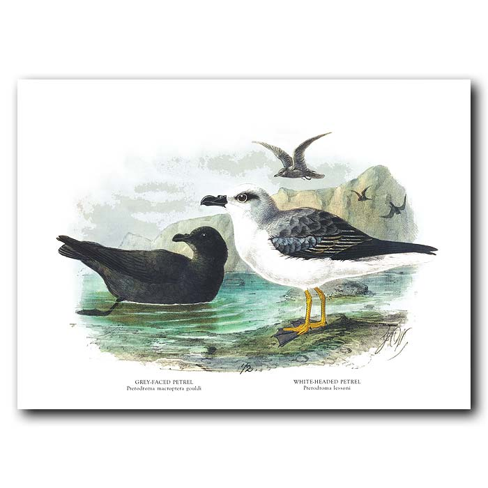 Fine art print for sale. White-Headed And Sooty Petrels