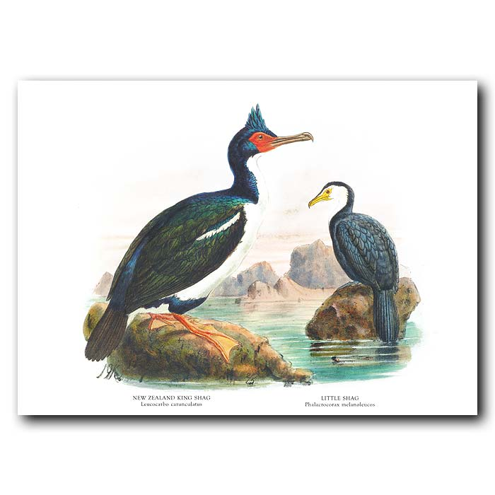 Fine art print for sale. Rough-Faced And White-Throated Shags