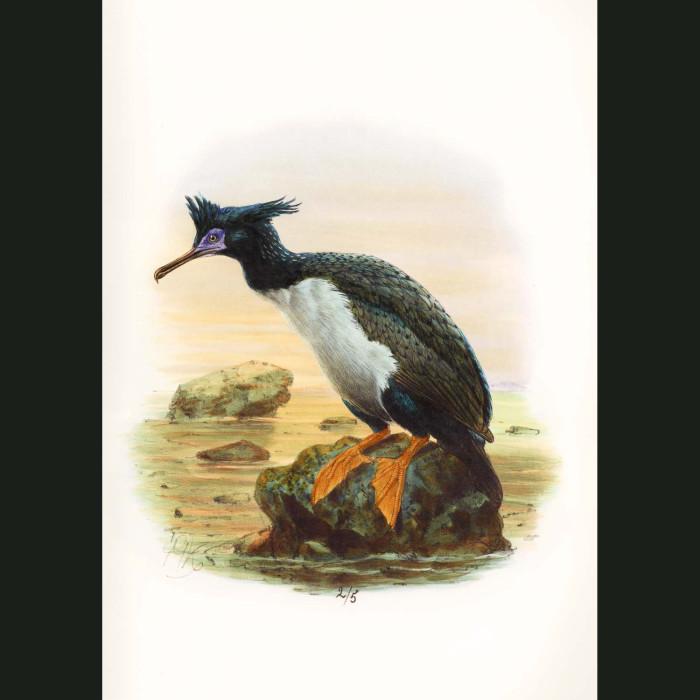 Fine art print for sale. Chatham Island Shag