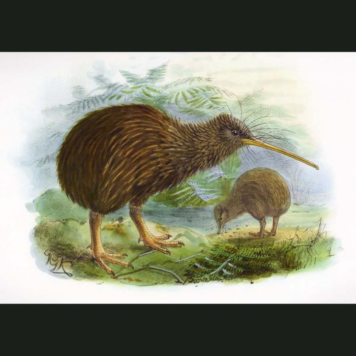 Fine art print for sale. North Island Brown Kiwi