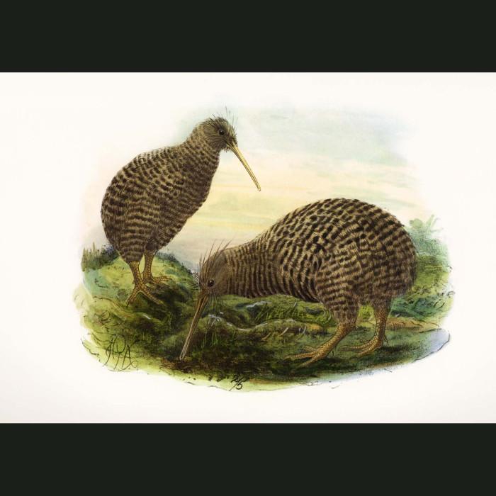 Fine art print for sale. Little Spotted Kiwi (Apteryx Owenii)