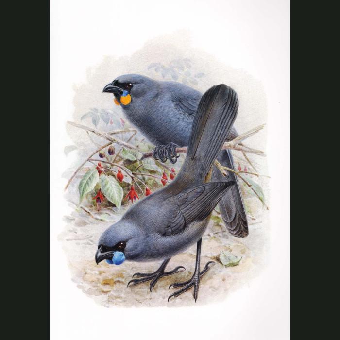 Fine art print for sale. South Island Kokako (extinct) And North Island Kokako (II)