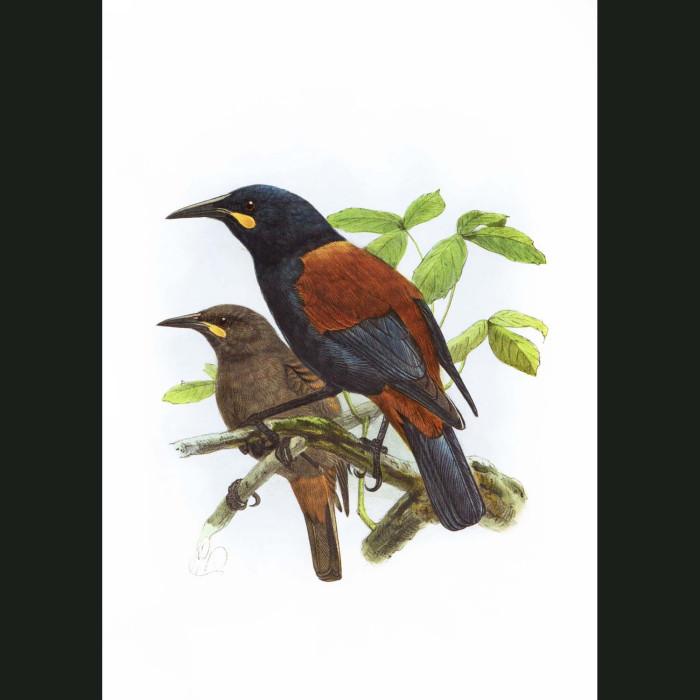 Fine art print for sale. Saddleback Birds (II)