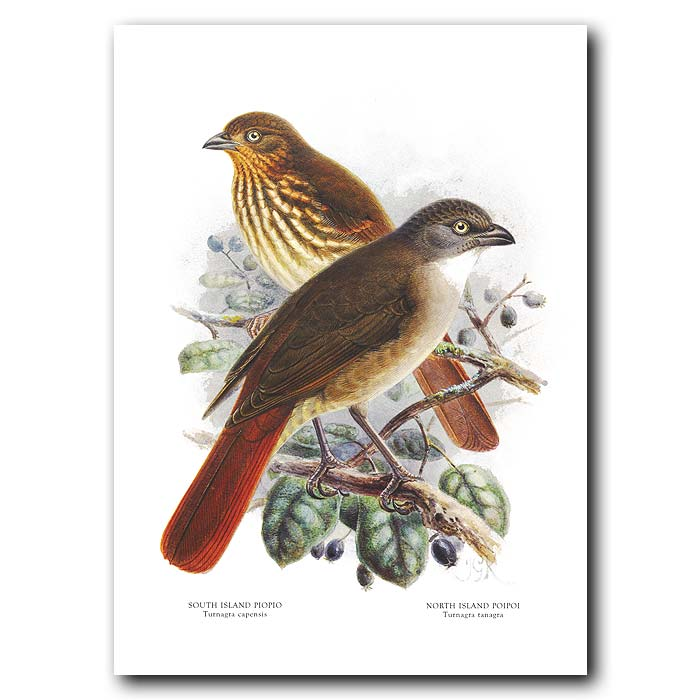 Fine art print for sale. Piopio (extinct) (II)
