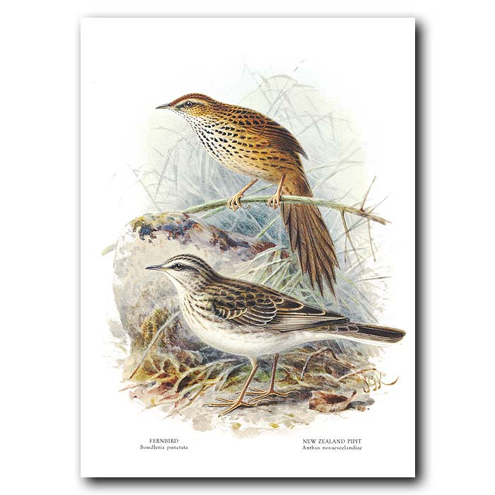 Fine art print for sale. Fernbird And Pipit