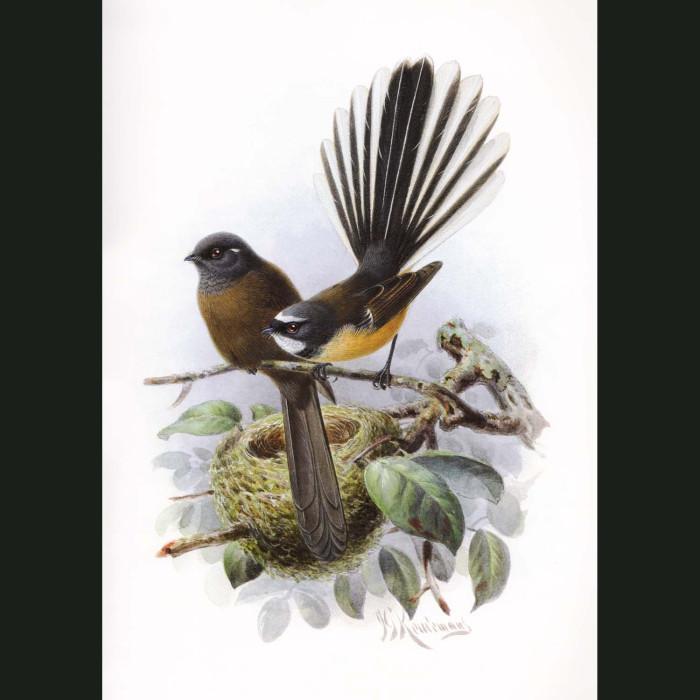 Fine art print for sale. New Zealand Fantail (Rhipidura Fuliginosa)